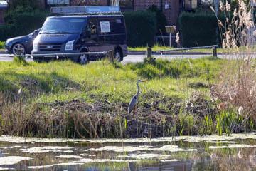 Reiher am Teich am Graben 16 an der Randersweide